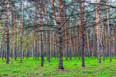 Drzewa, sosny Zdjęcia Stock