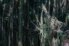 Drzewa w świętym małpim lasowym sanktuarium w Ubud, Bali zdjęcia stock