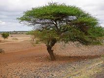 Drzewa w Afryka Tanzania Obrazy Royalty Free