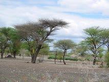 Drzewa w Afryka Tanzania Fotografia Royalty Free