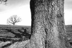 Drzewa w czarny i biały Obrazy Stock