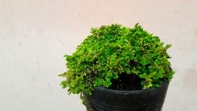Drzewa w garnkach, ornamentacyjne rośliny, mali zieleni liście są krzakami Obrazy Stock