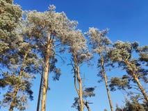 Drzewa w hoarfrost obraz stock