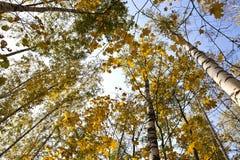 Drzewa w jesieni 3 Obrazy Stock