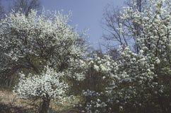 Drzewa w kwiacie w wiośnie fotografia royalty free