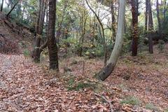 Drzewa w lasowych jesień liściach na ziemi obrazy royalty free