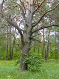 Drzewa w lato lesie Zdjęcie Royalty Free