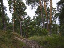 Drzewa w lato lesie Obraz Royalty Free