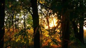 Drzewa w lesie przeciw zmierzchowi Promienie słońce przechodzą przez liści drzewo zbiory
