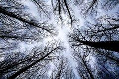 Drzewa w lesie przy wschodu słońca widokiem spod spodu Obraz Stock