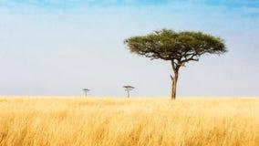Drzewa w obszarach trawiastych Kenja Afryka Obrazy Stock