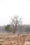 Drzewa w pench rzecznym łóżku, pench tygrysa rezerwa Obraz Stock