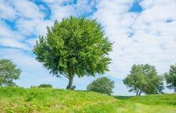 Drzewa w polu w lecie Obraz Stock