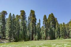 Drzewa w sekwoi nationalpark zdjęcie royalty free