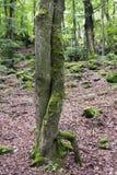 Drzewa w uścisku Obrazy Royalty Free