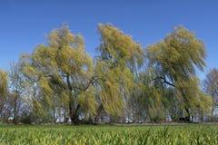 Drzewa w wiatrze Obraz Royalty Free