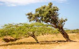 Drzewa w wiatrze Obrazy Stock