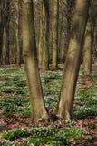 Drzewa w wiosen drewnach, Europa Zdjęcie Stock