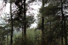Drzewa w zielonej zimie Obrazy Royalty Free
