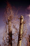 drzewa więdli Obrazy Royalty Free