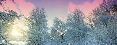 Drzewa z śniegiem w zimy forestWinter lesie w promienie słońce Obrazy Stock