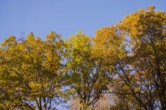 Drzewa z żółtymi jesień liśćmi z rzędu zdjęcie stock