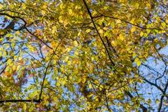 Drzewa z żółtymi liśćmi i niebieskie niebo oddolnym widokiem, fotografia stock