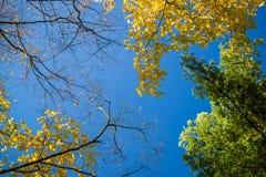 Drzewa z żółtymi liśćmi i niebieskie niebo oddolnym widokiem, obraz stock
