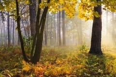Drzewa z żółtymi liśćmi w lesie Obraz Royalty Free