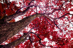 Drzewa z czerwonymi liśćmi Zdjęcie Royalty Free