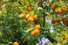 Drzewa z mandarinas typowymi w Sevilla, Hiszpania Obrazy Royalty Free