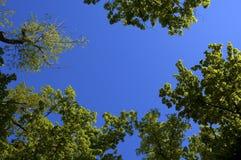 drzewa z nieba Obraz Stock