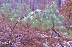 Drzewa z śniegiem Zdjęcia Royalty Free