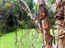 Drzewa zakrywający w kołtuniastych winogradach Zdjęcia Stock