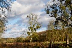 Drzewa zakrywający w jemiole fotografia royalty free