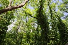 drzewa zakrywający z bluszczem Zdjęcia Stock