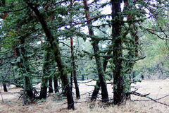 Drzewa zakrywający z mech Fotografia Royalty Free