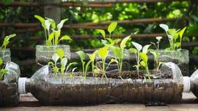 Drzewa zasadzają w przetwarzać plastikowych butelkach Zasadzający w butelce klingeryt przetwarza zdjęcie stock