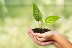 Drzewa zielony świeży w żeńskiej ręce Obraz Royalty Free