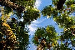 drzewka palmowe Obrazy Royalty Free
