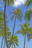 Drzewka palmowe Fotografia Stock