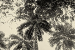 Drzewka Palmowe, Amazonian dżungla zdjęcia royalty free