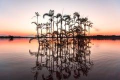 Drzewka Palmowe, Cuyabeno przyrody rezerwa, Ekwador fotografia stock