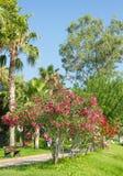 Drzewka palmowe i kwiaty Oleandrowi w Kemer obrazy stock