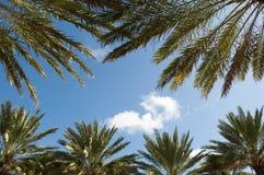 Drzewka palmowe i niebieskie niebo Zdjęcia Royalty Free