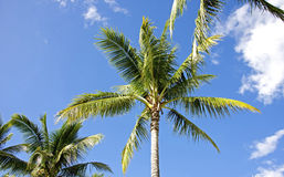 Drzewka palmowe i niebieskie niebo Zdjęcie Stock