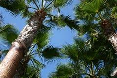 Drzewka palmowe i niebieskie niebo Fotografia Royalty Free
