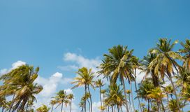 Drzewka palmowe i niebieskie niebo - drzewka palmowego tło - Zdjęcie Stock