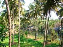 Drzewka Palmowe lasy, Kerala, India Zdjęcie Stock