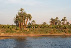Drzewka Palmowe na banku Rzeczny Nil, Egipt obraz royalty free
